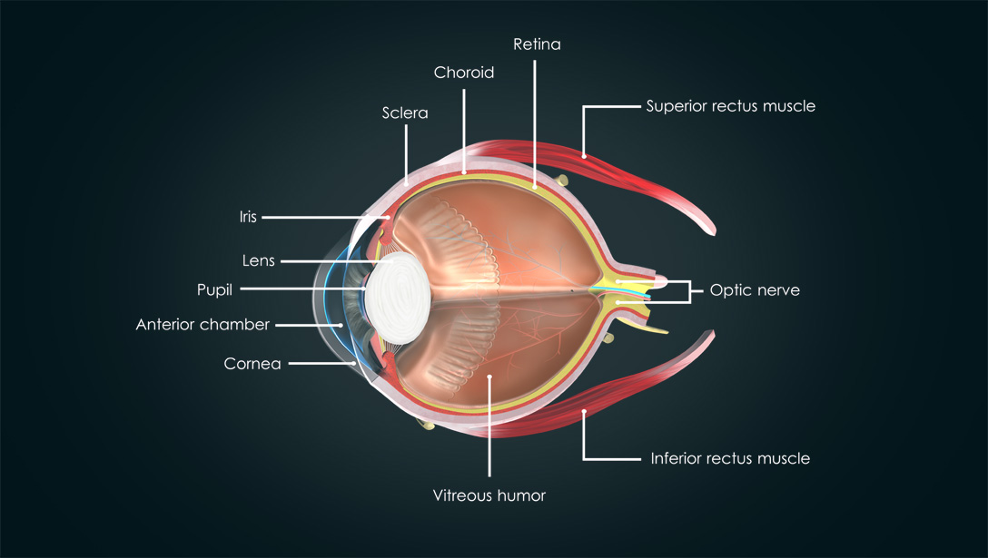 Anatomy Of The Human Eye Visual Acuity Light Perception Essilor